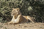 Lioness on Bank