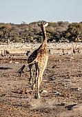 Giraffe Running, Rear View