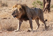 Lion Male Walking