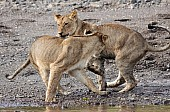 Young Lions Play-Fighting Reference Photo
