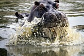 Hippo Surfacing with a Splash