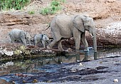 Elephant with Young Crossing Pool