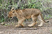 Lion Cub Walking, Side-On