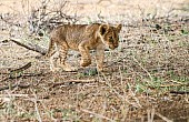 Lion Cub Walking with Intent