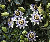 Granadilla Flower
