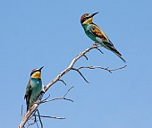European Bee-eater Duo