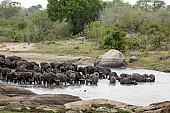 Buffalo Herd at Waterhole