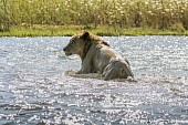 Lion Climbing from River Shallows