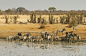 Zebra Herd Milling Around Dam's Edge