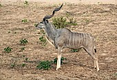 Kudu Bull, Kruger National Park