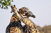 Close-up of Giraffe Pair Sparring