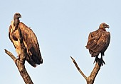 Pair of White-backed Vultures