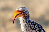 Southern Yellow-billed Hornbill, Three-Quarter View