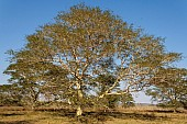 Big Fever Tree