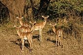 Impala Group