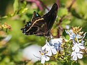 Blue-banded Swallowtail Butterfly in Search of Nectar