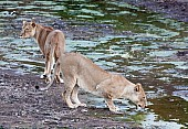 Lioness Pair in Riverbed