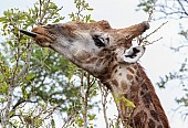 Reference photo of giraffe's long tongue