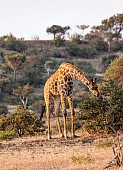 Young Male Giraffe Browsing