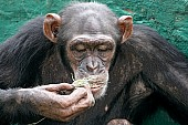 Chimpanzee Sniffing Piece of Grass