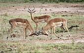 Impala Confrontation