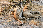 Young Male Lion Pair at Rest