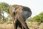African Elephant Spraying Water