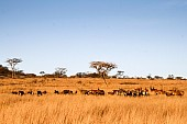 Wildlife and Acacia Trees, Wide View
