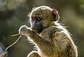 Baboon Youngster with Twig