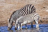 Zebra Mother with Foal