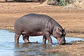 Hippo leaving water