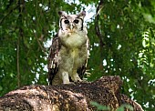 Verreaux's Eagle-Owl (Giant Eagle-Owl)
