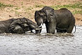 Elephants in Water Shallows