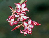 Flowering Impala Lily