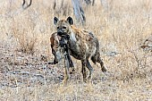 Spotted Hyena photo for art reference