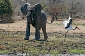 Elephant Puts Stork to Flight
