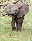 Baby Elephant with Trunk Outstretched