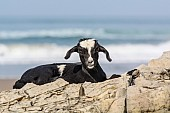 Black and White Goat on Rocks