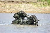Elephant Romping in Water