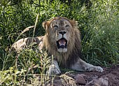 Lion Male at Rest in Shade