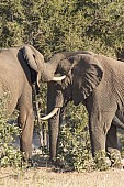 Elephants sparring with trunks