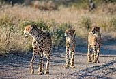 Cheetah Mother with Sub-adult Cubs