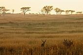 Kudu Bull in Grassland