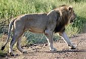 Lion Male Crossing Road