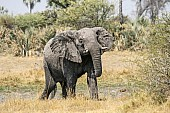 African Elephant Reference Photo