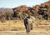 African Elephant Pair Heading for Waterhole
