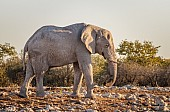 Dusty Elephant in Warm Light