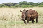 White Rhino Adult