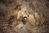 Lion Male Lying in Long Grass