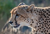 Cheetah Head Shot, in Profile
